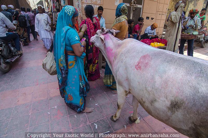 Cows in Vrindavan
