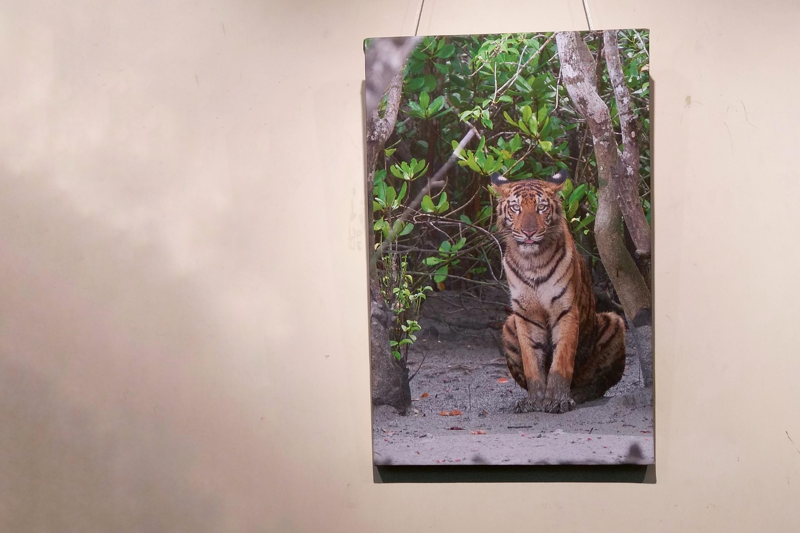 sunderban tigers