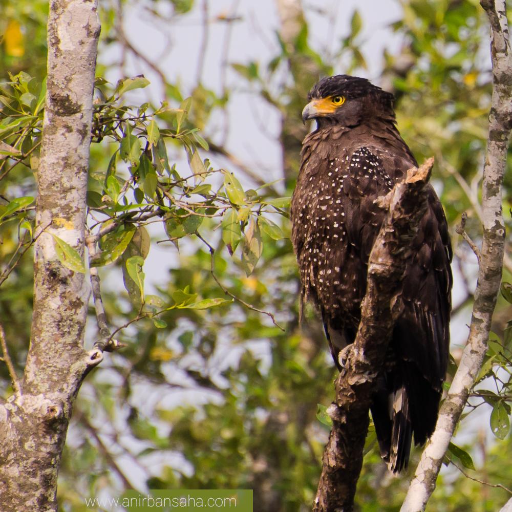crested serpent eagle, sunderban