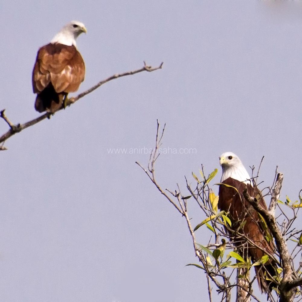 Brahminy Kites, Sunderbans