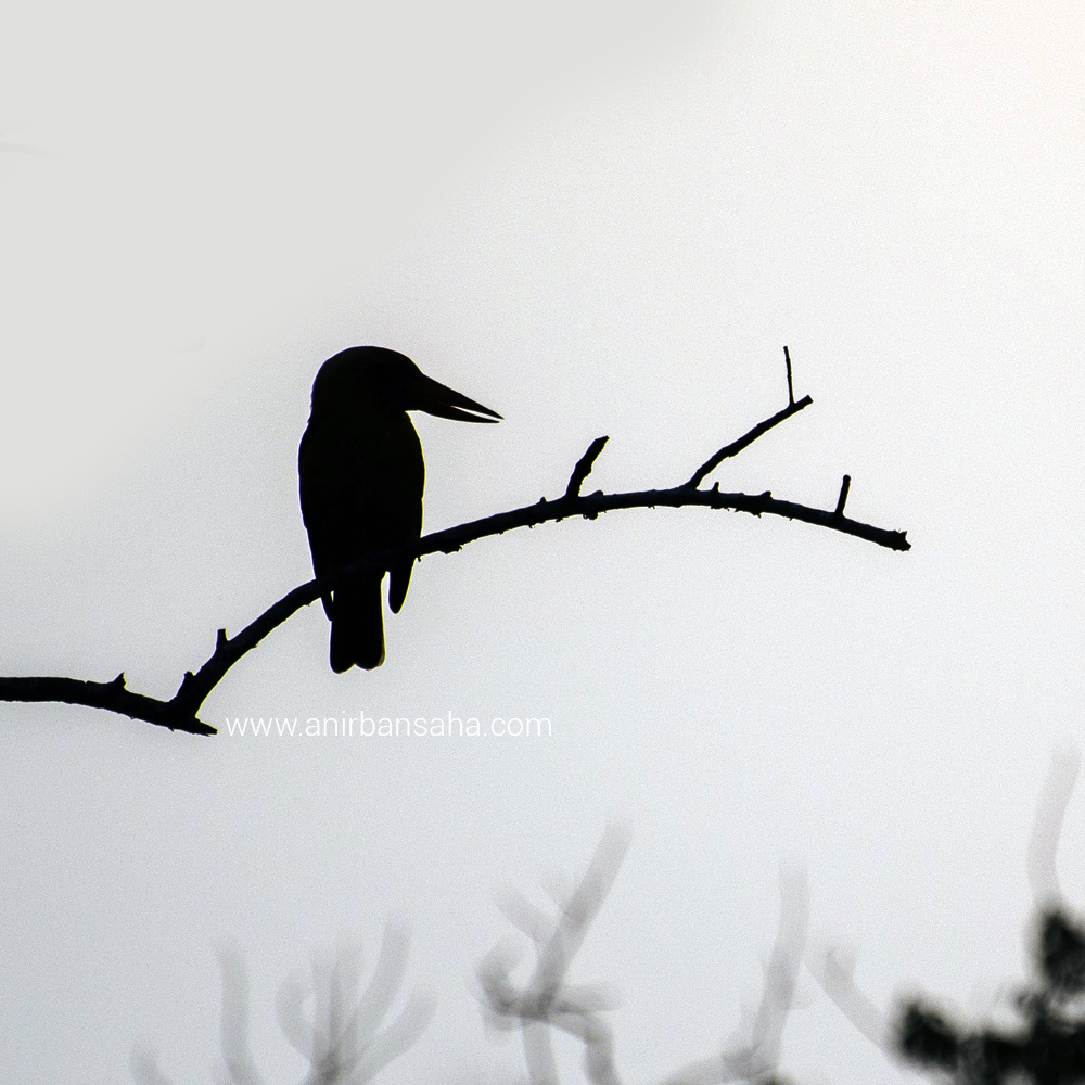 Kingfisher in Sunderbans