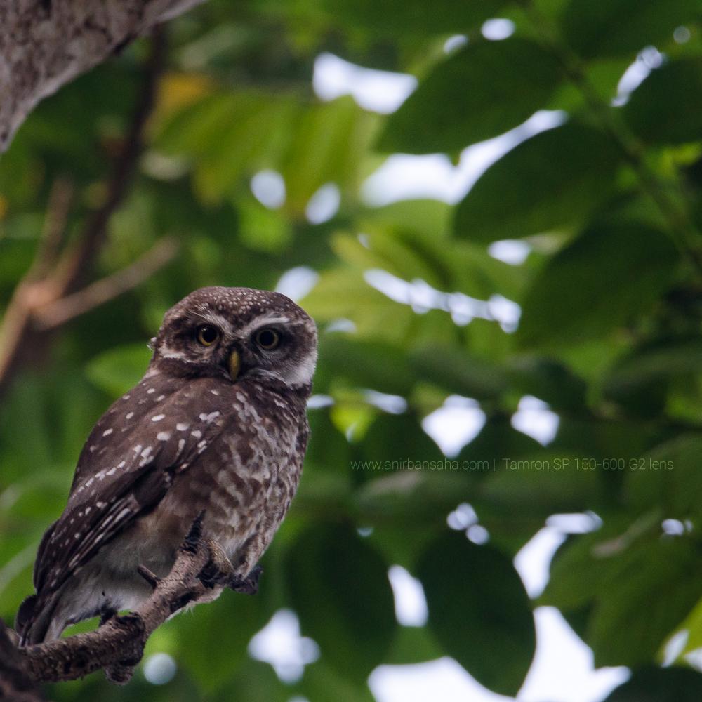 spotted owlet, central park kolkata, tamron sp 150-600 g2 lens