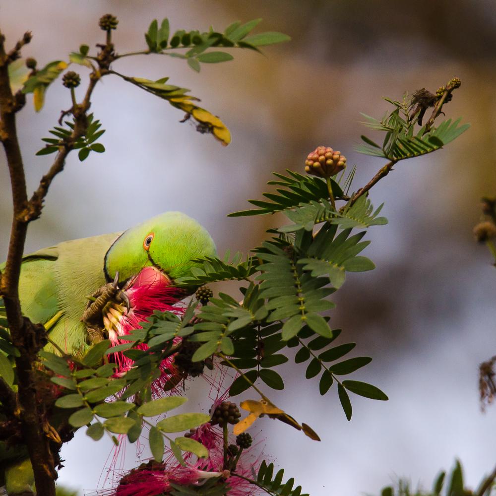 parrot eating flower