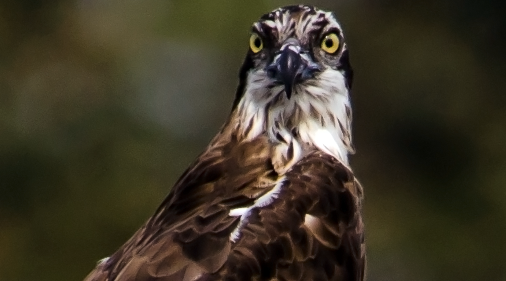 Osprey, Purbasthali