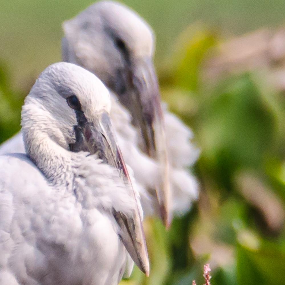 Open bill stork in purbasthali