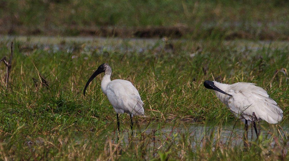 black headed ibis, Purbasthali