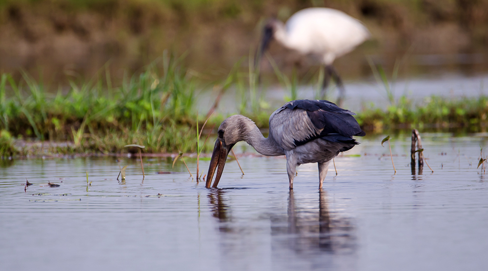 Open Bill Stork, Purbasthali, Bengal