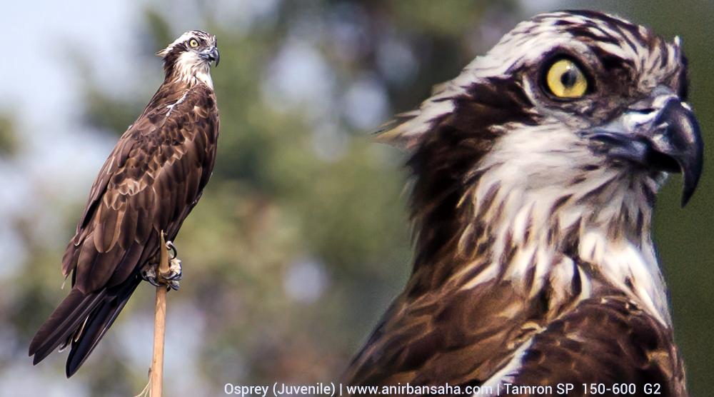 Osprey, Purbasthali bird sanctuary, Purbasthali birding, Purbasthali bird photographs