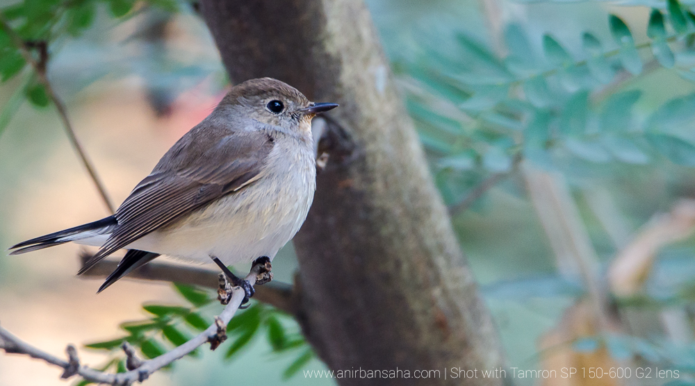 Taiga flycatcher female