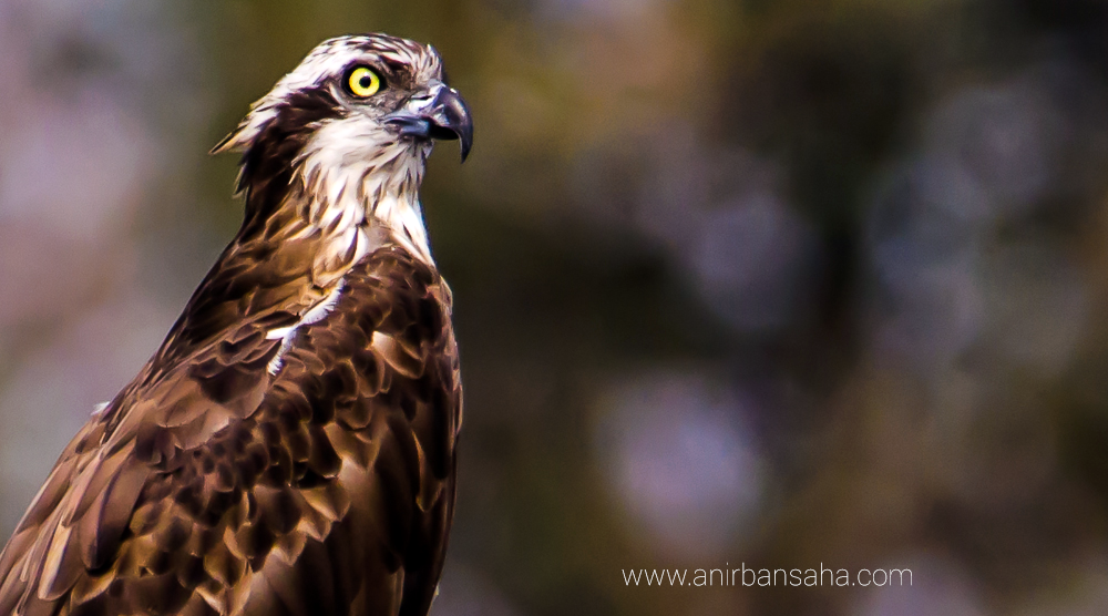 Osprey in Purbasthali, Bengal