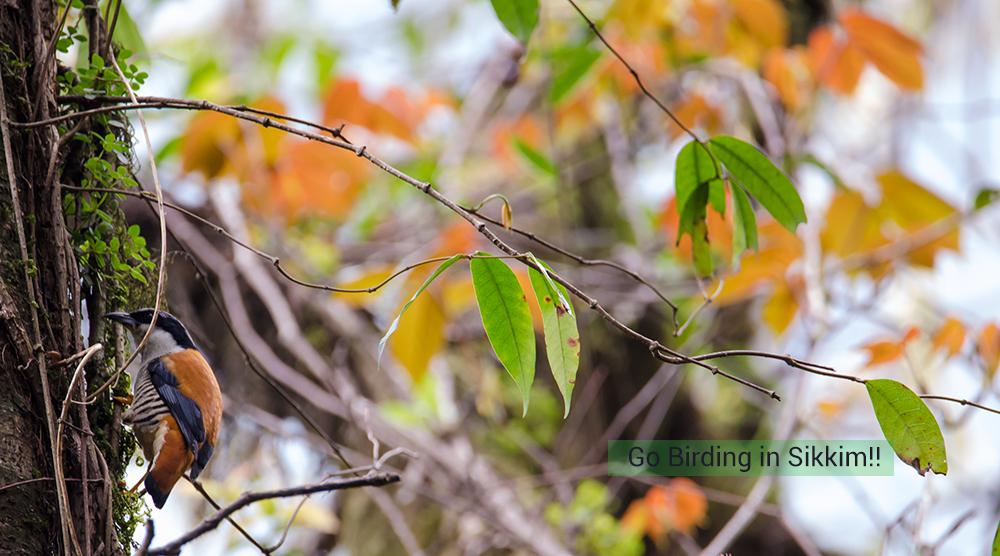 Birding in sikkim, cutia
