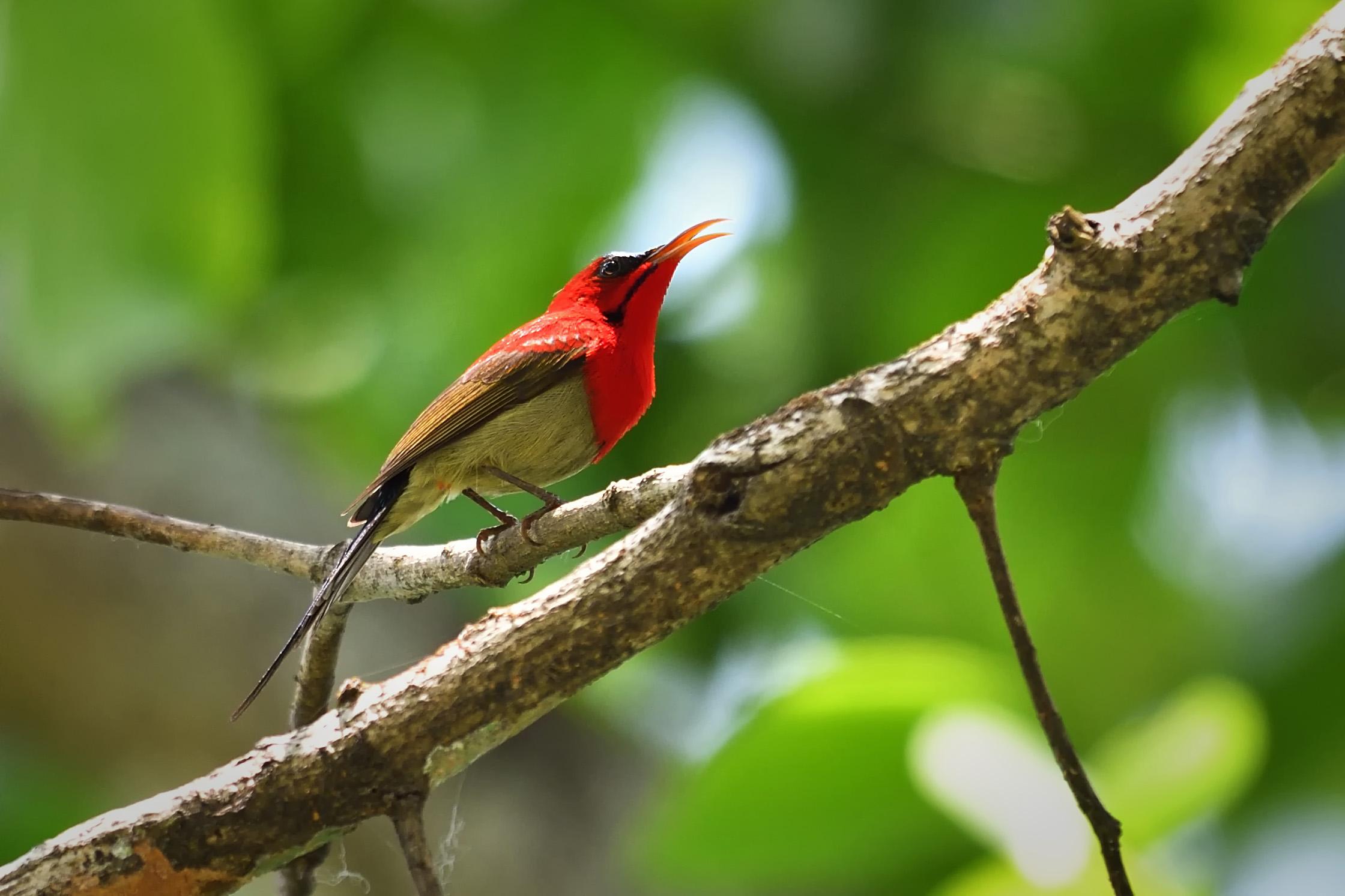 Crimson Sunbird sikkim, asim halder