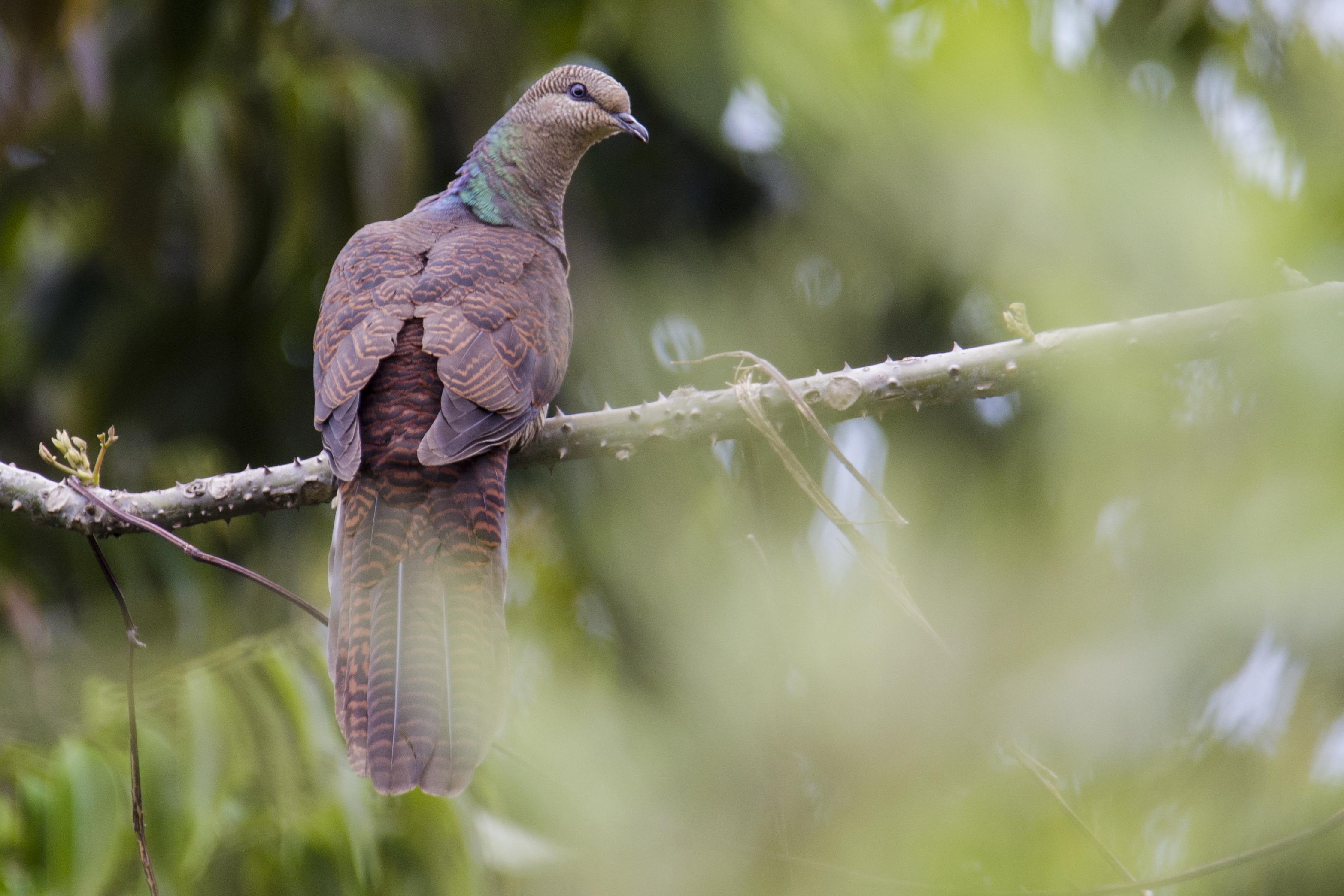 Barred Cuckoo-Dove
