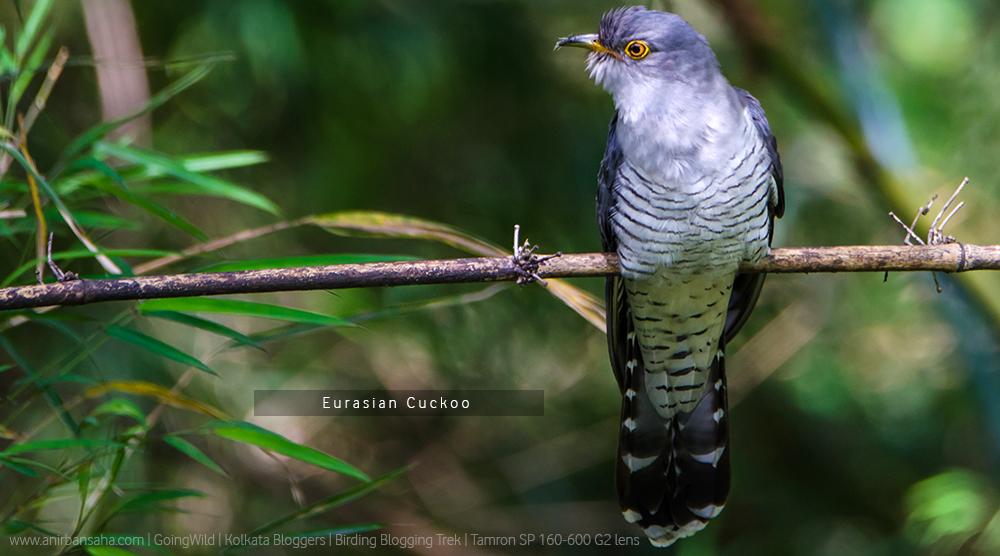 eurasian cuckoo, sikkim eurasian cuckoo photograph, eurasian cuckoo india