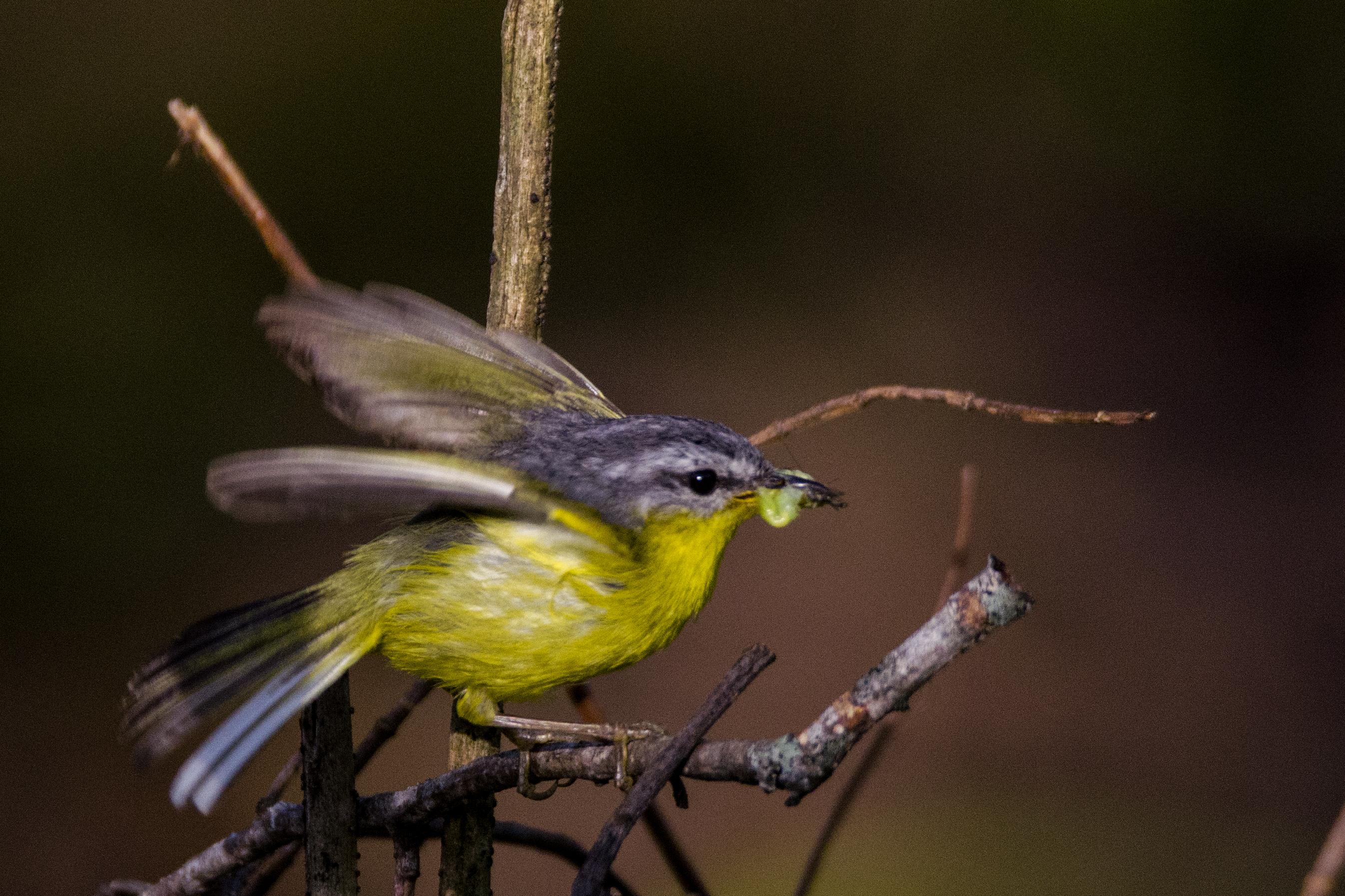 Grey-hooded Warbler sikkim