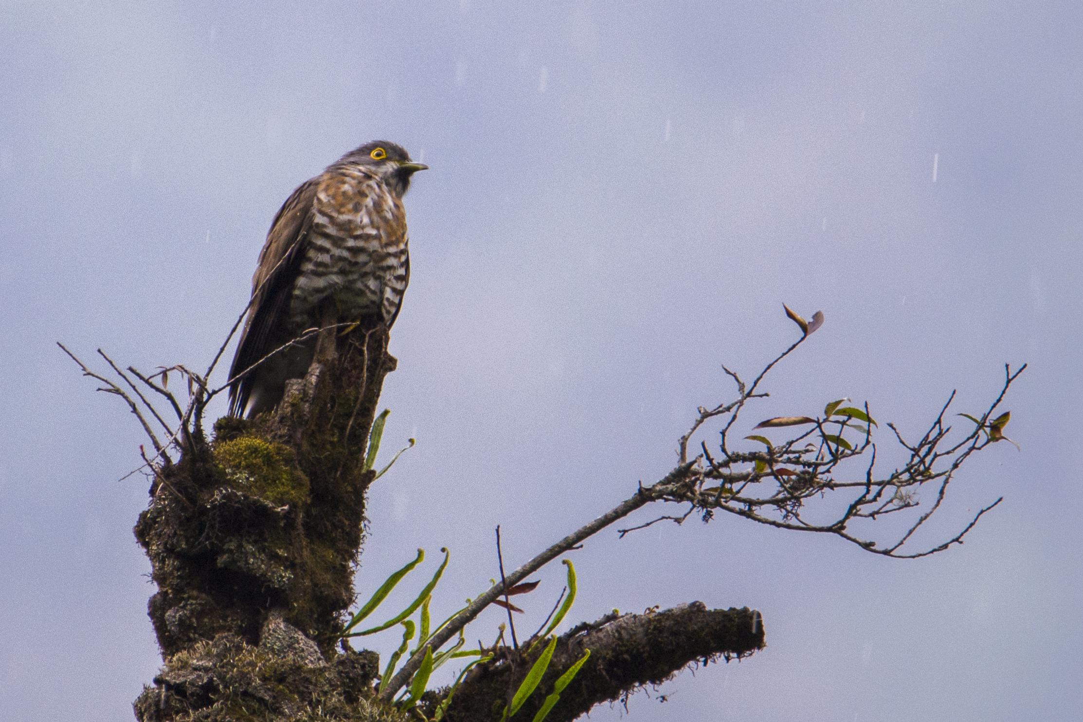himalayan cuckoo, sikkim, sachen
