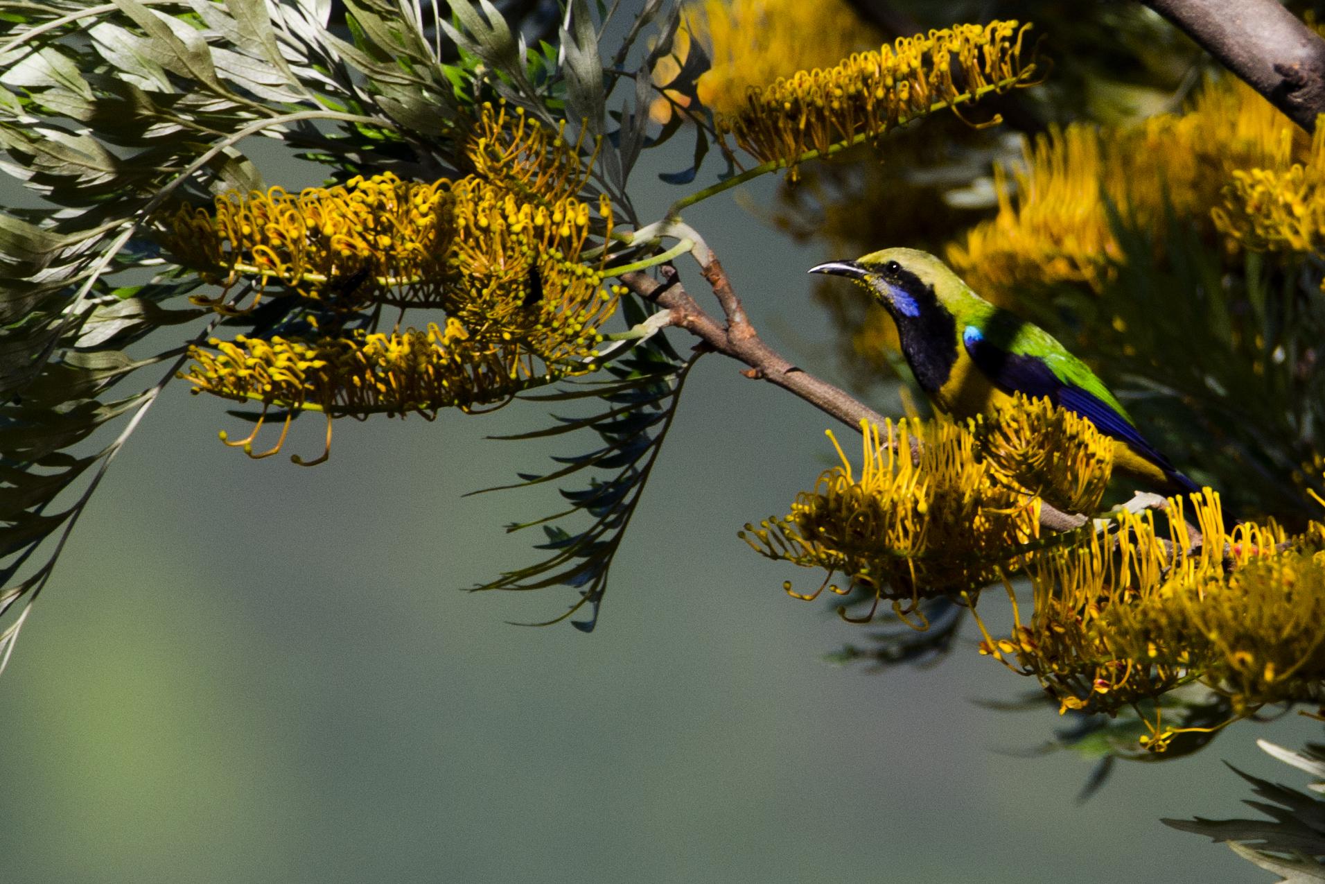 orange bellied leafbird