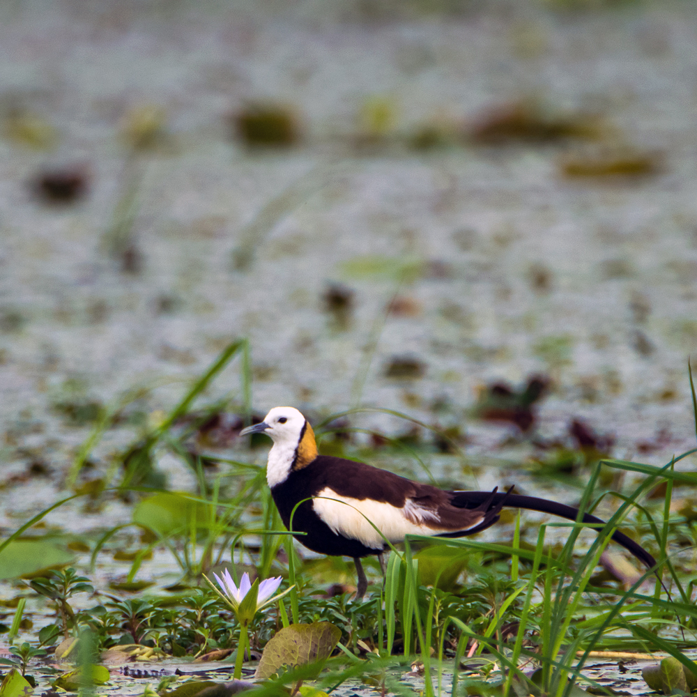 pheasant tailed jacana, birds in rajarhat