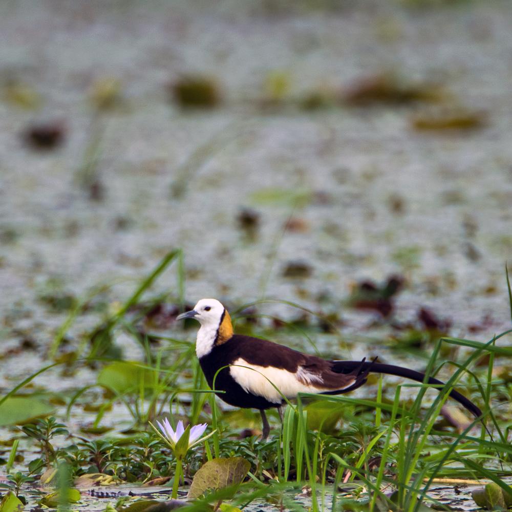 pheasant tailed jacana, birds in rajarhat