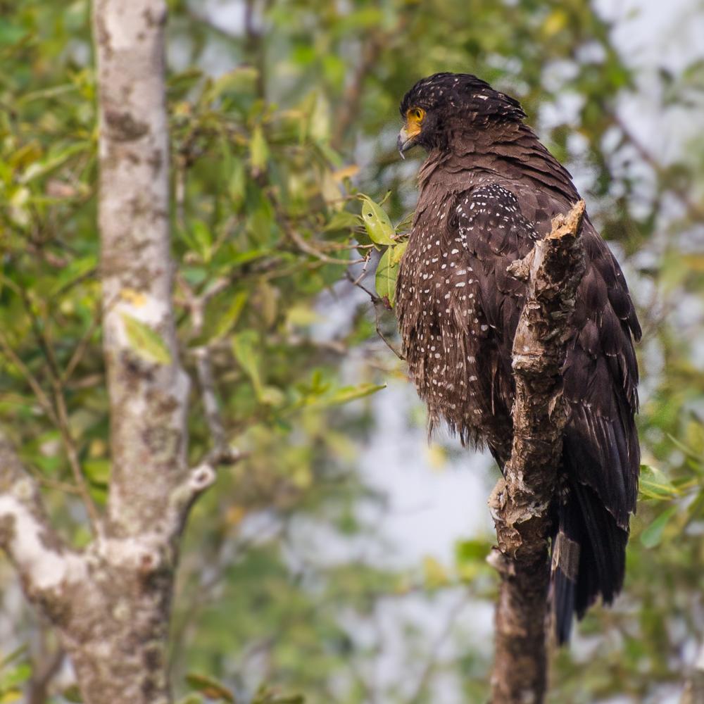crested serpent eagle sunderban
