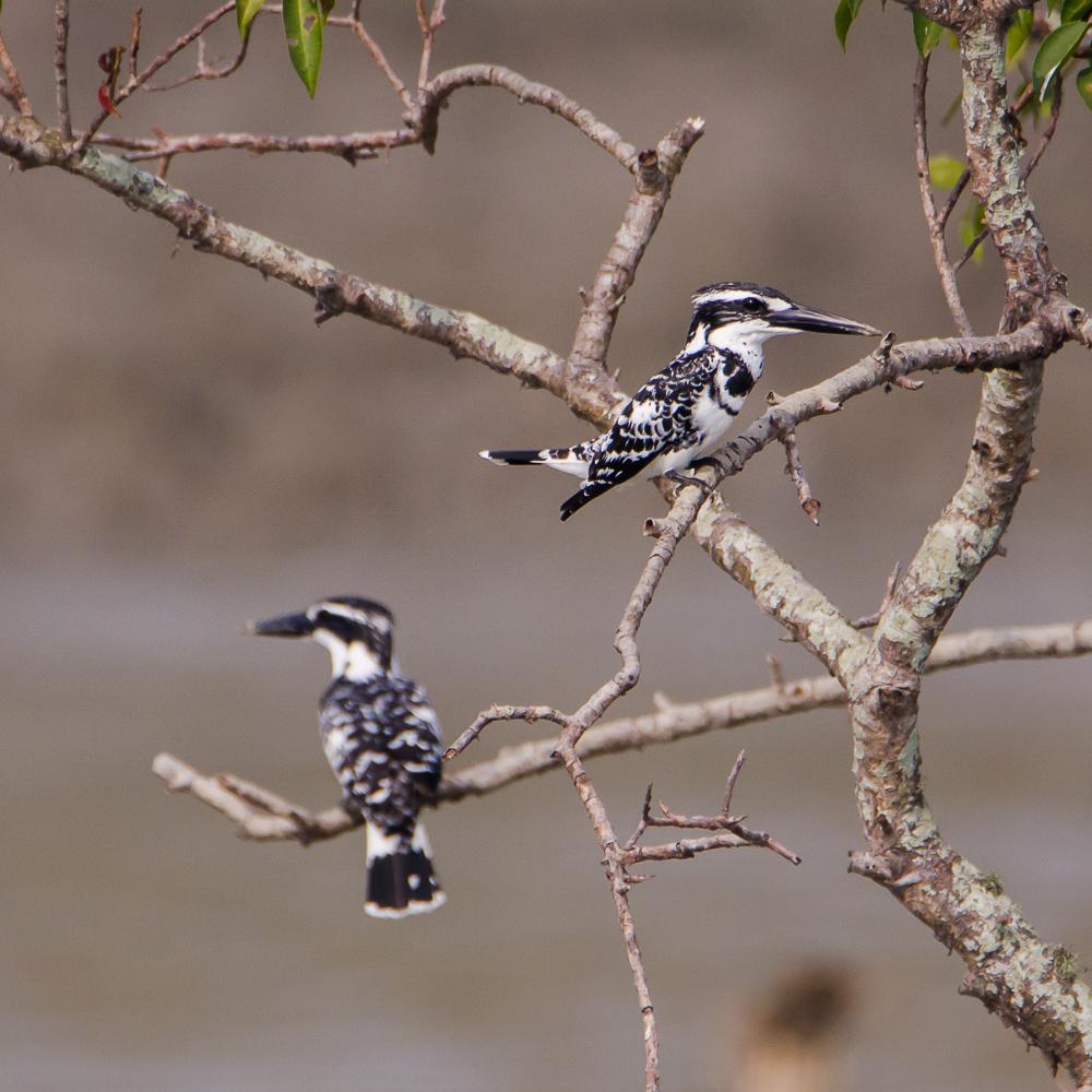 birds in sunderban