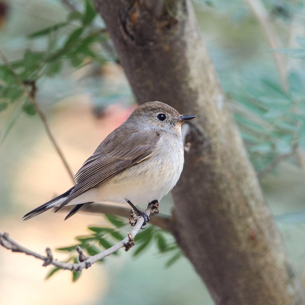 taiga flycatcher kolkata, birds in central park kolkata