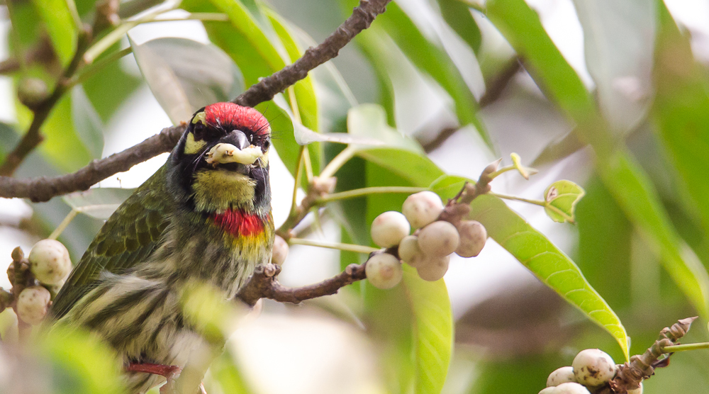 coppersmith barbet, birds in bengal, birds in rabindrasarobar