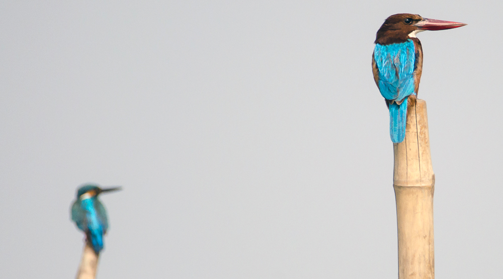 common kingfisher, white throated kingfisher