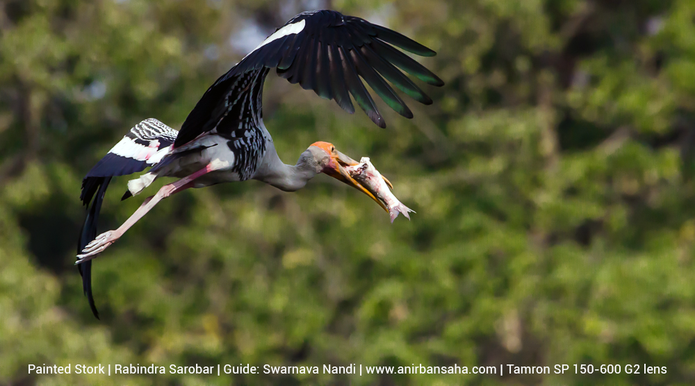 painted stork, rabindra sarobar birds, rabindra sarobar bird photographs