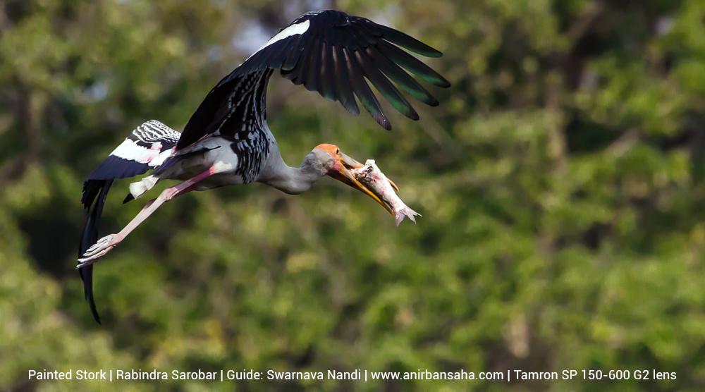 painted stork, rabindra sarobar birds, rabindra sarobar bird photographs