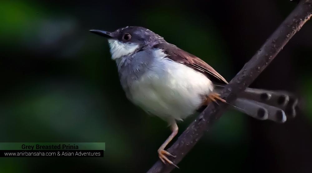 Grey Breasted Prinia,pangot sattal birding, pangot sattal blog, uttarakhand tourism, uttakhand birding