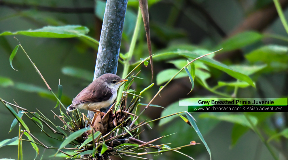 Grey Breasted Prinia Juvenile,pangot sattal birding, pangot sattal blog, uttarakhand tourism, uttakhand birding