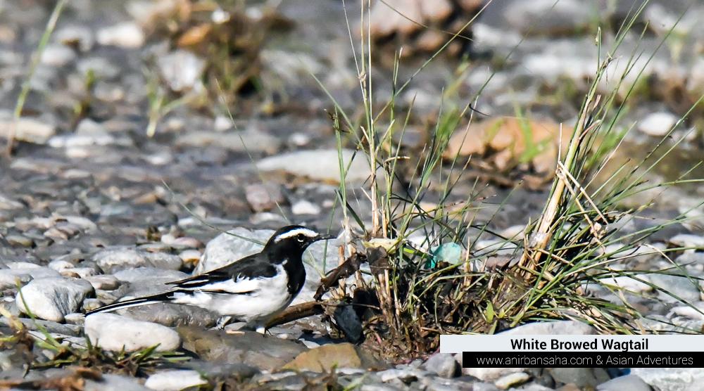 White Browed Wagtail, birding in kumeria mohan pangot sattal,pangot sattal birding, pangot sattal blog, uttarakhand tourism, uttakhand birding