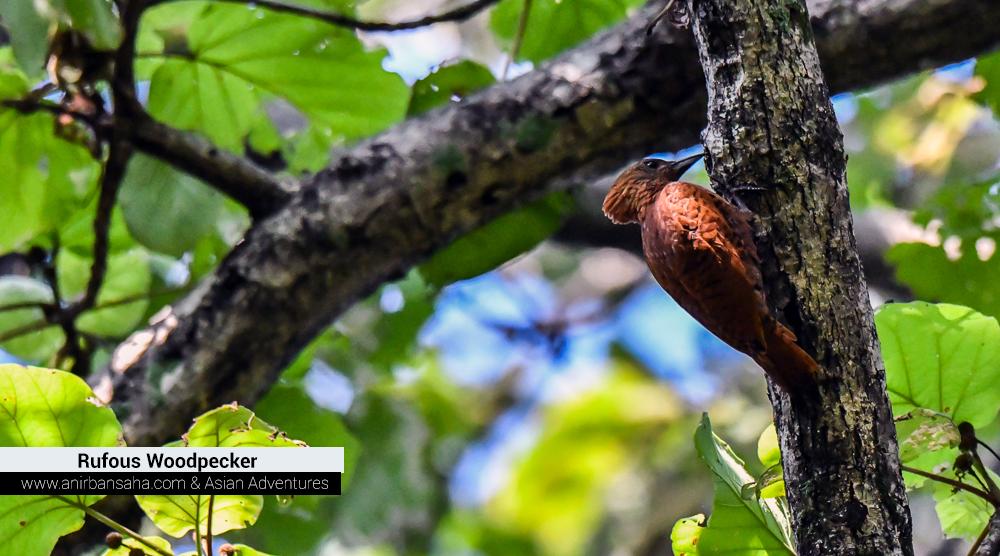 Rufous Woodpecker, sattal pangot,pangot sattal birding, pangot sattal blog, uttarakhand tourism, uttakhand birding