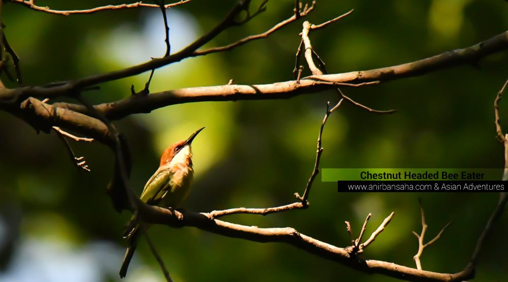 Chestnut headed bee eater, sattal pangot birding,pangot sattal birding, pangot sattal blog, uttarakhand tourism, uttakhand birding