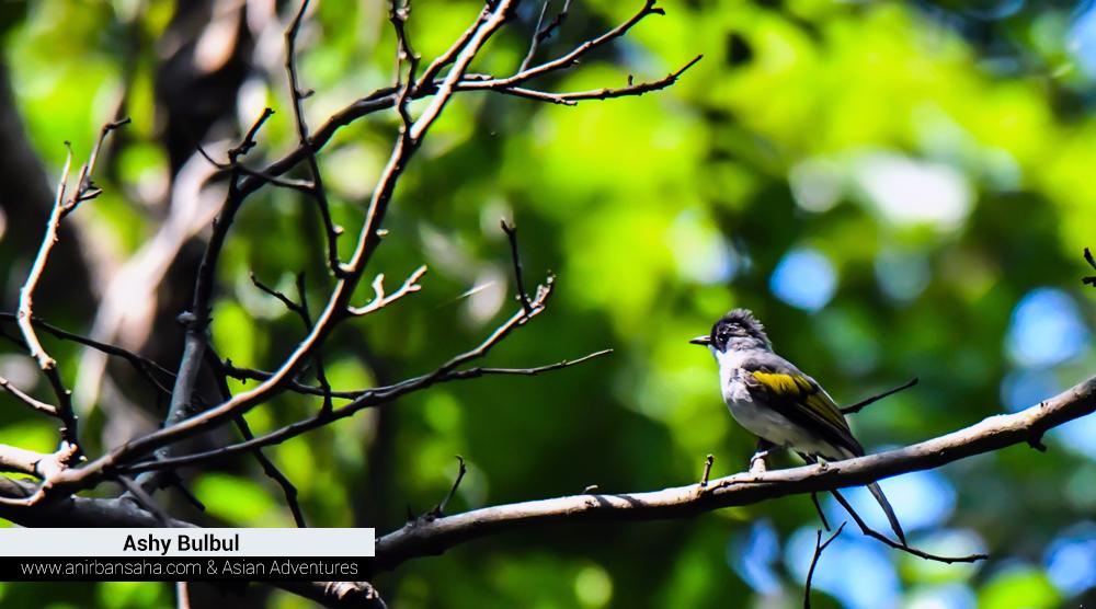 Ashy bulbul, sattal pangot birding,pangot sattal birding, pangot sattal blog, uttarakhand tourism, uttakhand birding