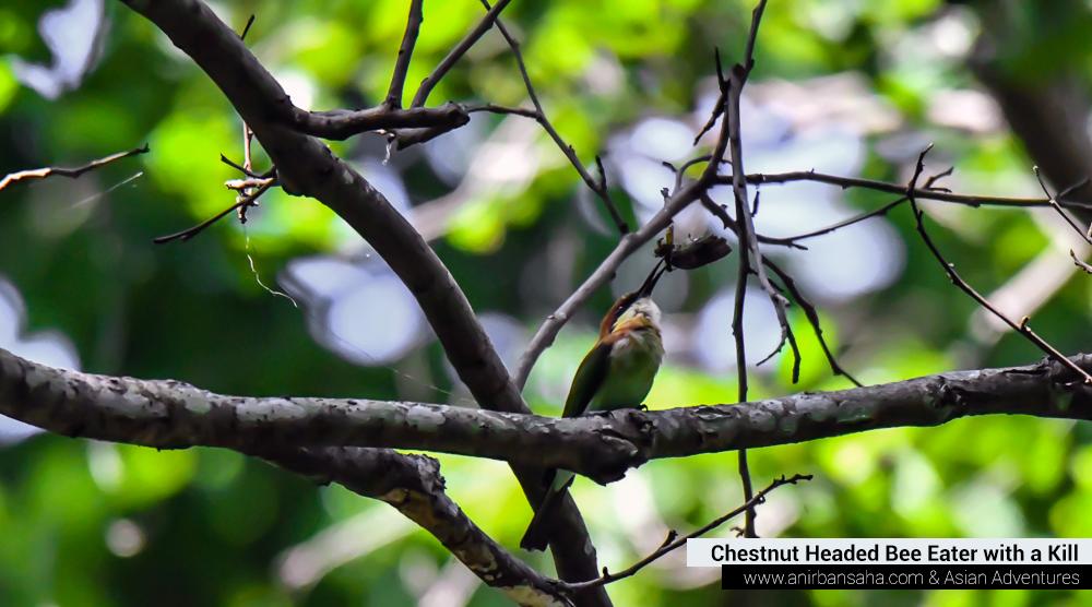Chestnut headed bee eater,pangot sattal birding, pangot sattal blog, uttarakhand tourism, uttakhand birding