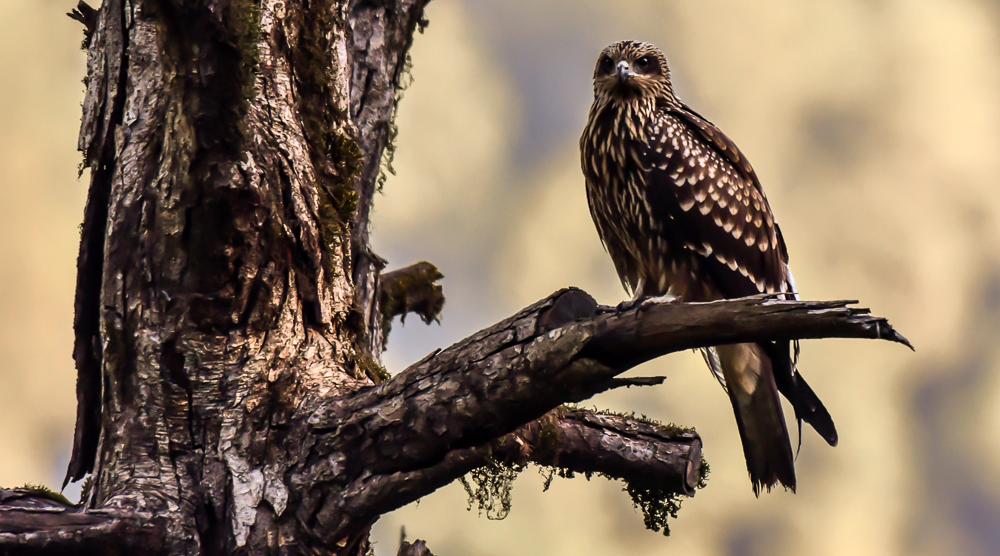 black eared kite,pangot sattal birding, pangot sattal blog, uttarakhand tourism, uttakhand birding