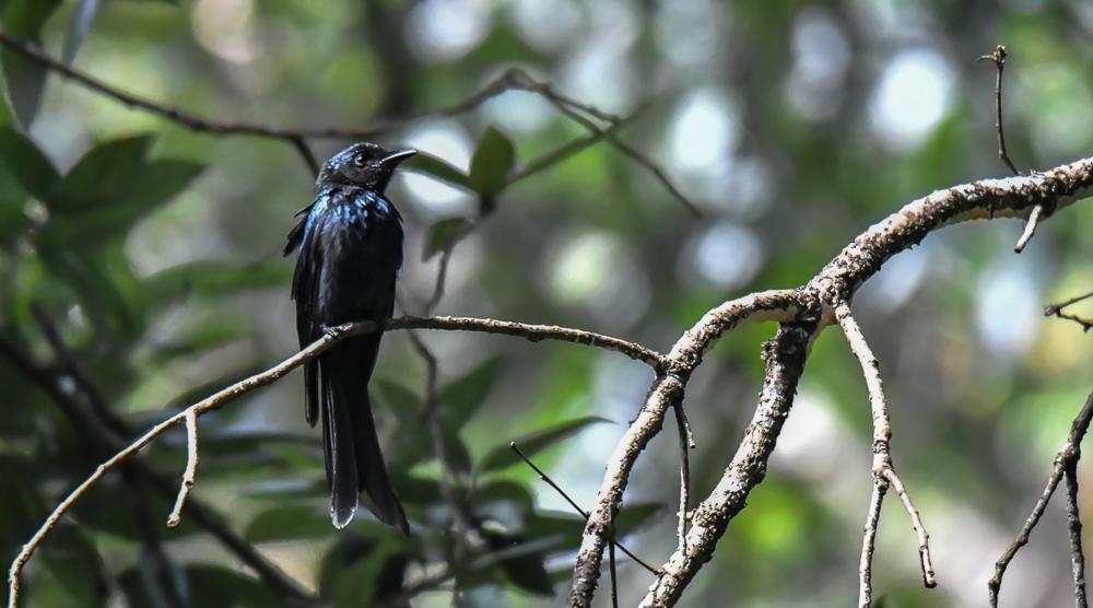 bronze drongo,pangot sattal birding, pangot sattal blog, uttarakhand tourism, uttakhand birding