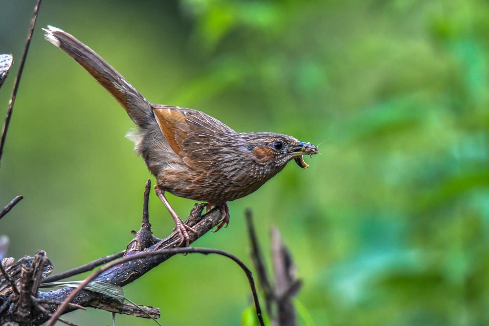 Streaked Laughingthrush, jungle lore pangot, asian adventures,pangot sattal birding, pangot sattal blog, uttarakhand tourism, uttakhand birding