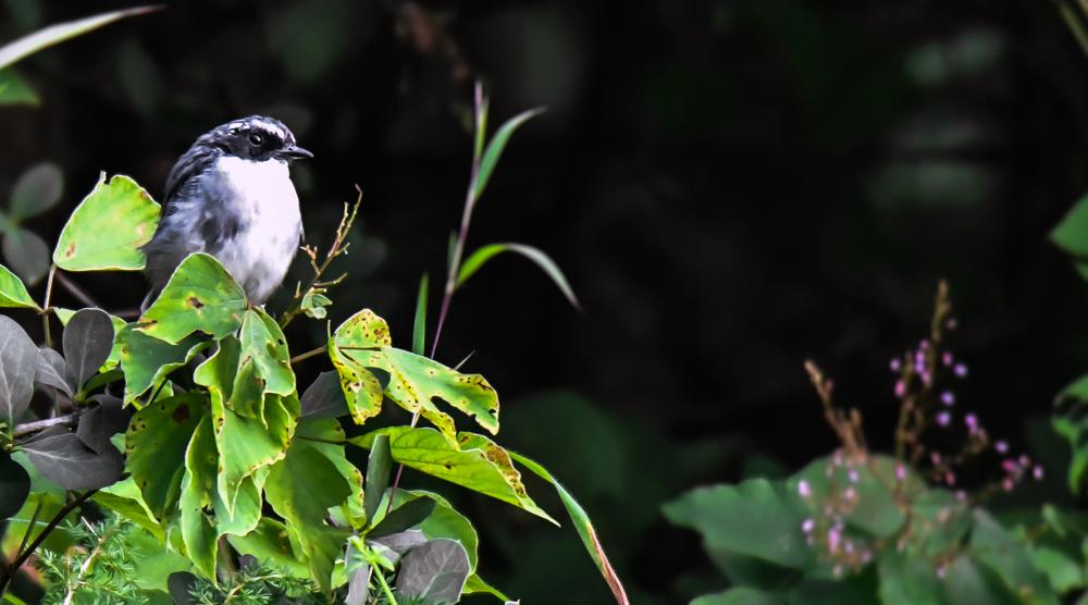 Grey bushchat,pangot sattal birding, pangot sattal blog, uttarakhand tourism, uttakhand birding