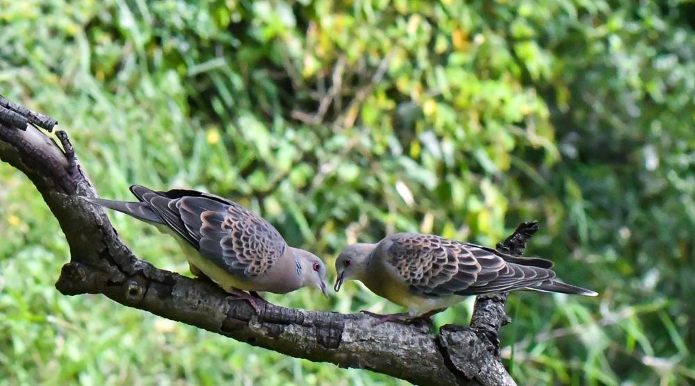Oriental Turtle Dove India Pangot Sattal birding,pangot sattal birding, pangot sattal blog, uttarakhand tourism, uttakhand birding