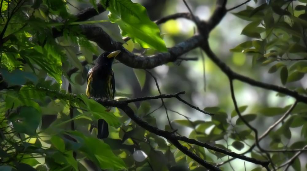 great barbet,pangot sattal birding, pangot sattal blog, uttarakhand tourism, uttakhand birding