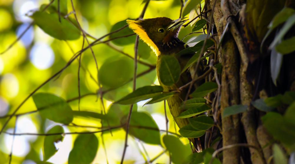 greater yellow nape,pangot sattal birding, pangot sattal blog, uttarakhand tourism, uttakhand birding