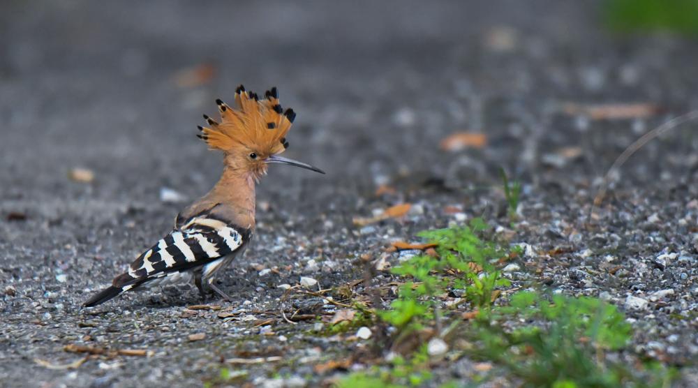 Hoopoe, pangot, pangot sattal birding,pangot sattal birding, pangot sattal blog, uttarakhand tourism, uttakhand birding