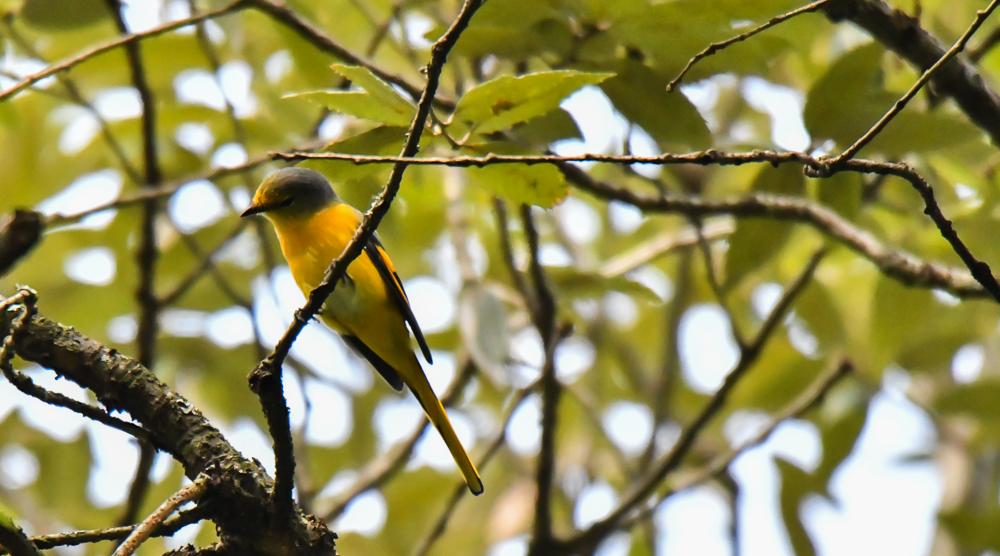 long tailed minivet female,pangot sattal birding, pangot sattal blog, uttarakhand tourism, uttakhand birding