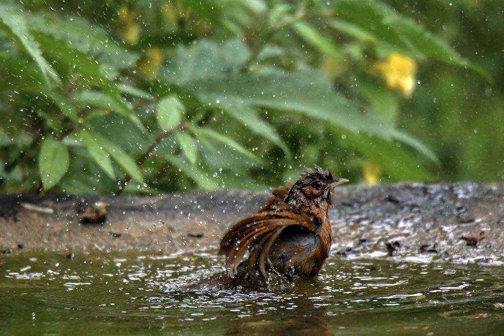 Streaked Laughingthrush in jungle lore pangot,pangot sattal birding, pangot sattal blog, uttarakhand tourism, uttakhand birding