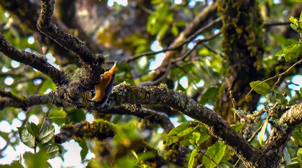 Chestnut Bellied Nuthatch, pangot sattal birding,pangot sattal birding, pangot sattal blog, uttarakhand tourism, uttakhand birding