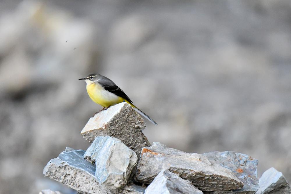 Grey Wagtail, pangot sattal birding, pangot sattal blog, uttarakhand tourism, uttakhand birding