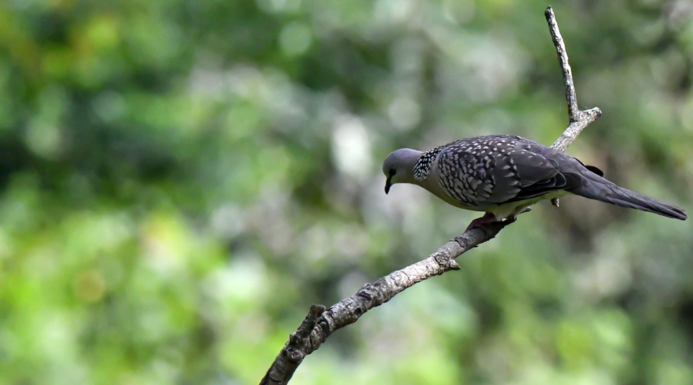 spotted dove, jungle lore birding lodge, pangot sattal birding,pangot sattal birding, pangot sattal blog, uttarakhand tourism, uttakhand birding
